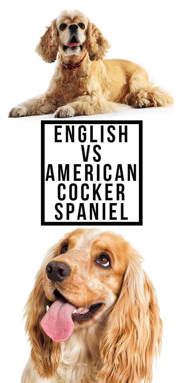 english vs american cocker spaniel