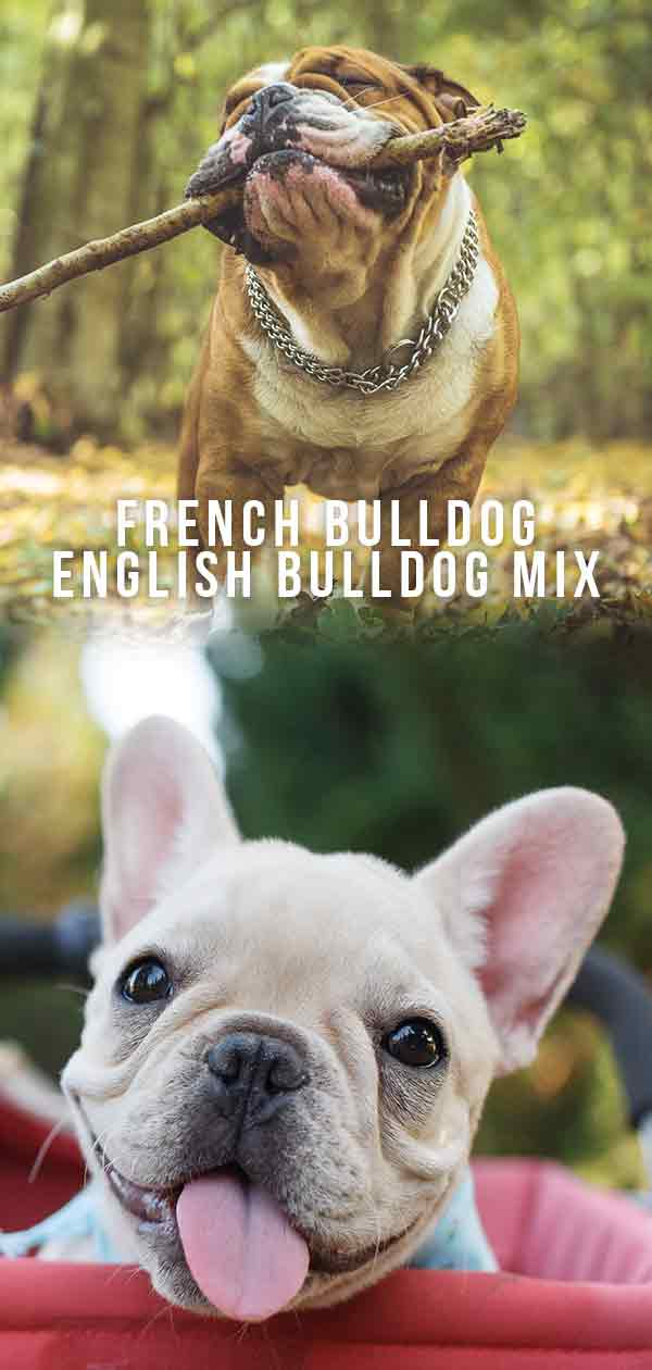 french bulldog english bulldog mix