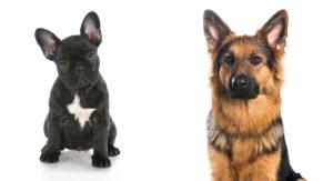 French Bulldog German Shepherd Mix: Is This Mix Right for You?