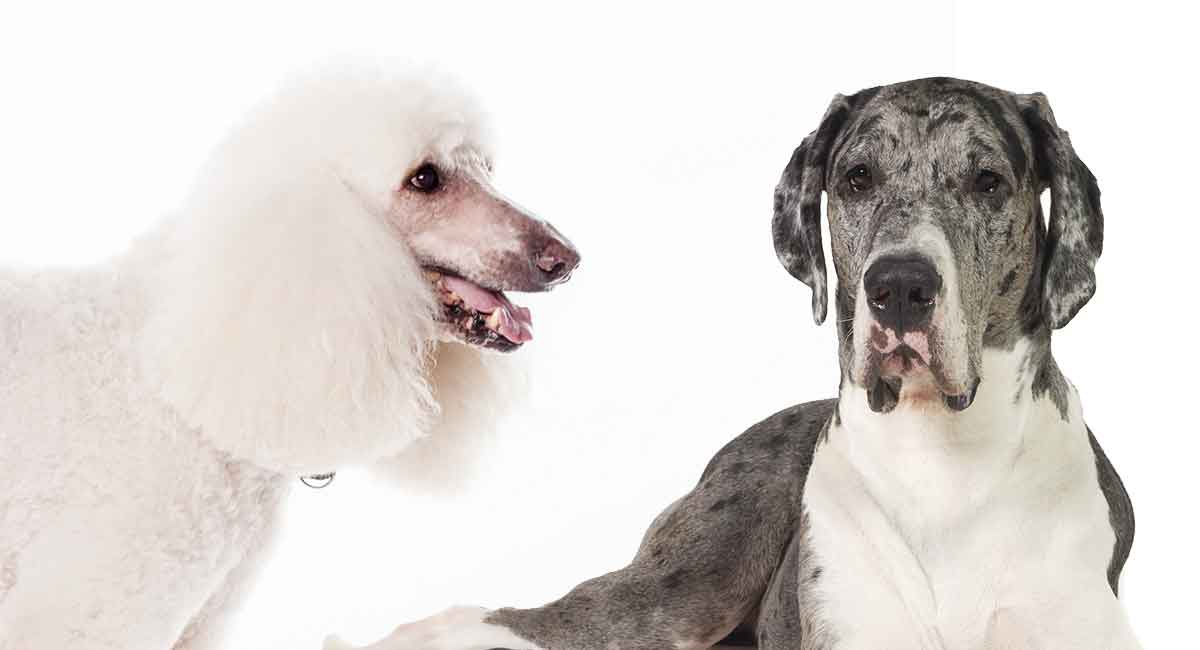 Great Dane Poodle Mix An Extensive