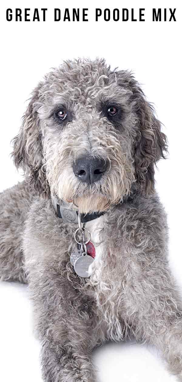 Great Dane Poodle Mix
