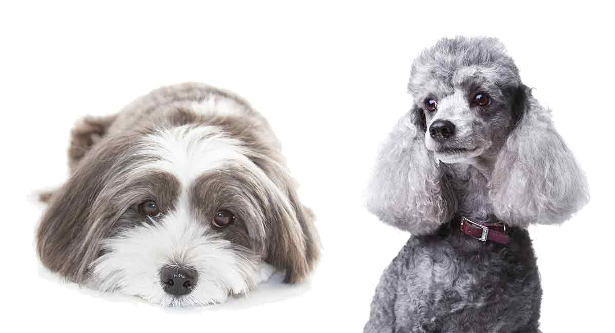 Havapoo Is The Adorable Havanese Poodle Mix Right For You