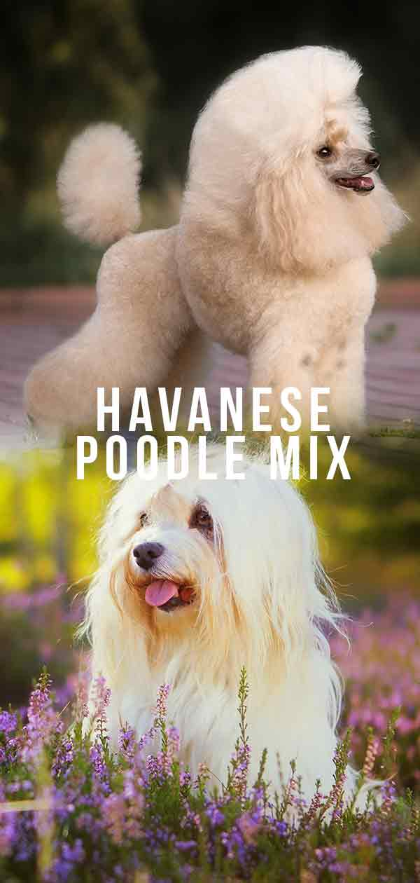 Is The Adorable Havanese Poodle Mix