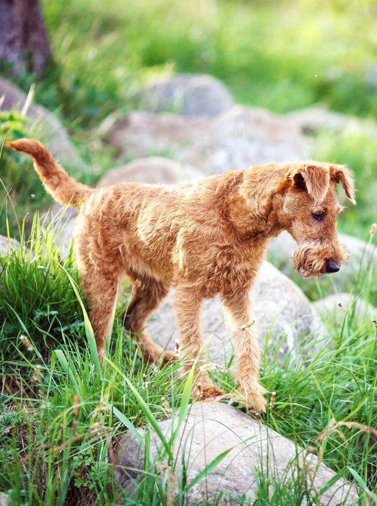 irish dog breeds - irish terrier