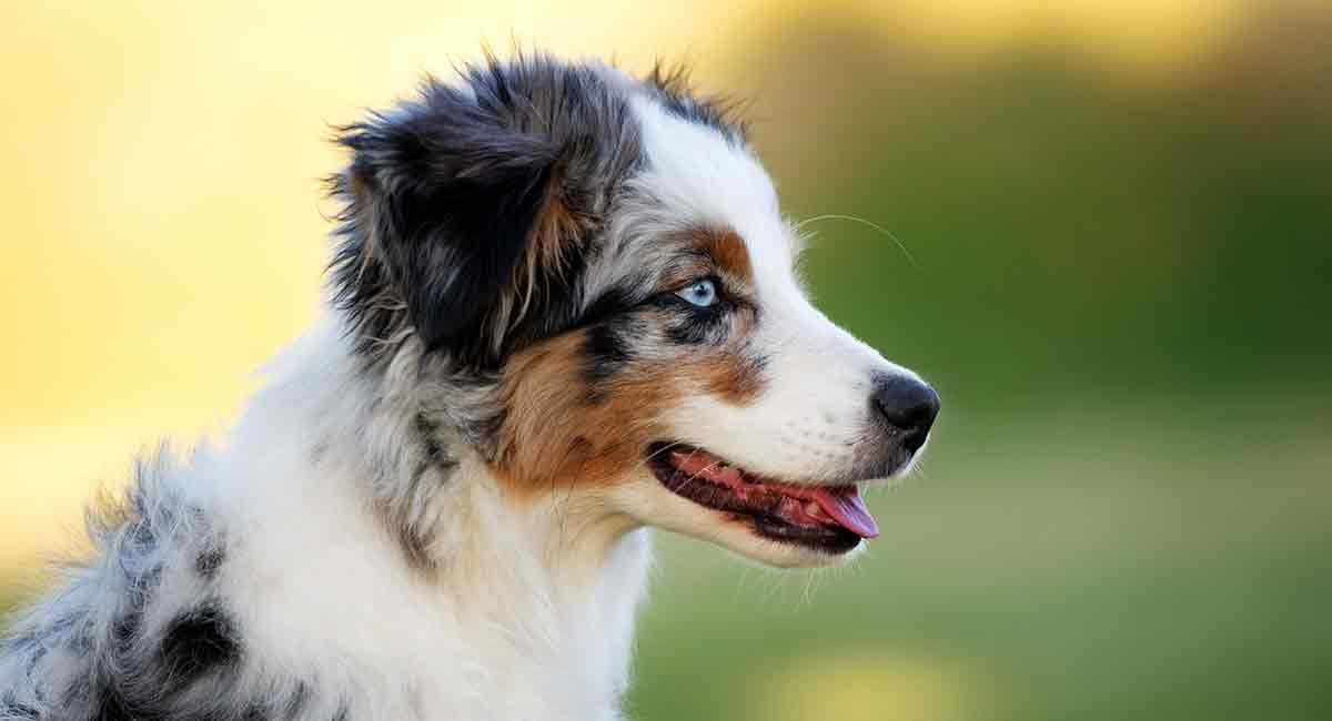 Mini Australian Shepherd The Complete Guide To The Miniature Aussie