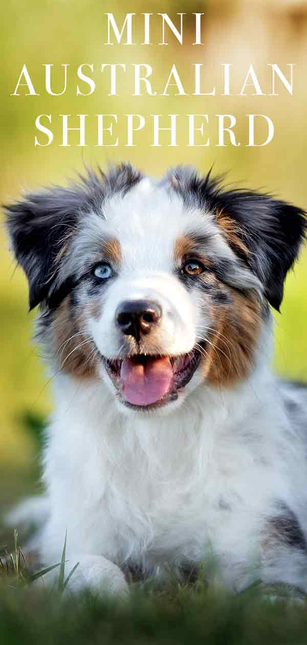 Mini Australian Shepherd Is This The