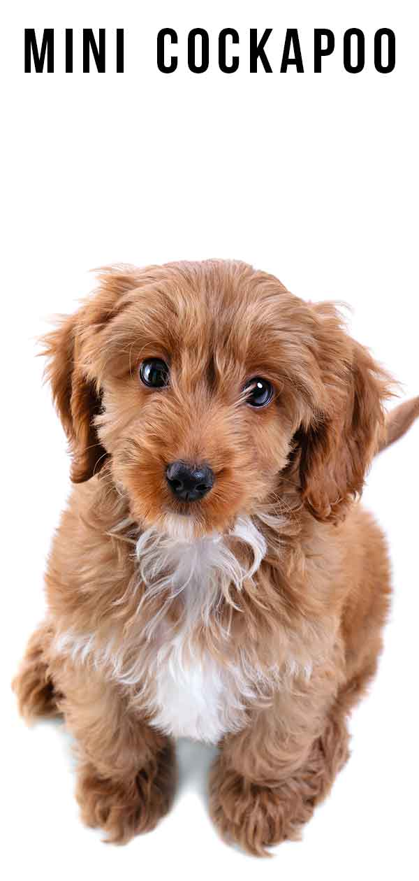 Mini Cockapoo - Is This Cute And Curly Dog A Good Pet?