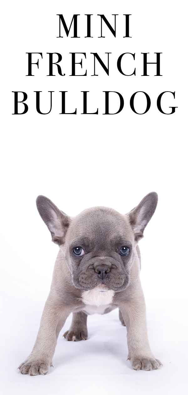 Mini French Bulldog: A Complete Guide