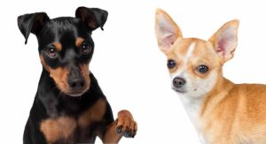 Miniature Pinscher Chihuahua Mix Breed: A Guide To The Chipin Dog
