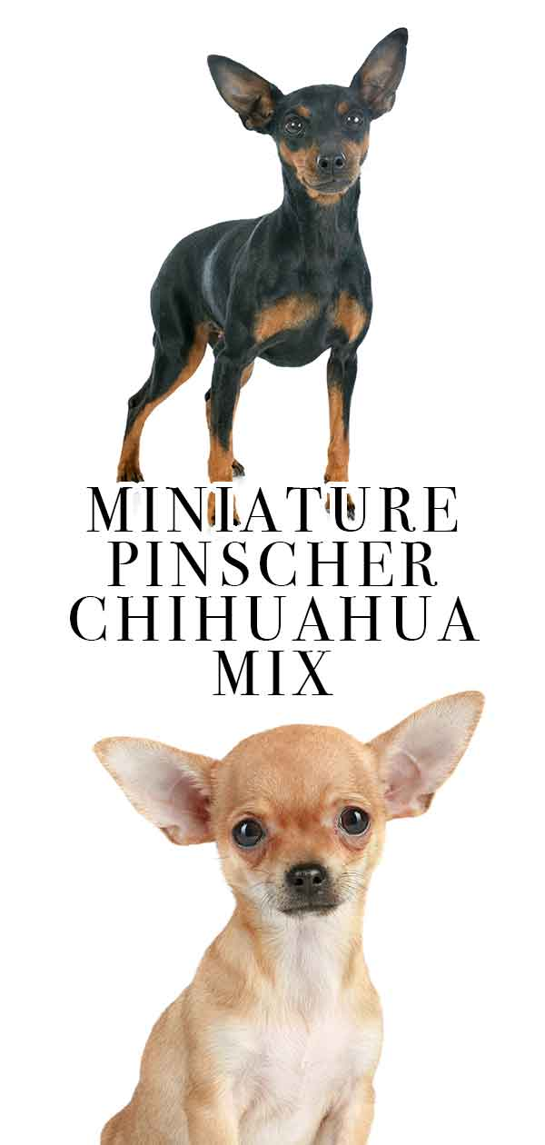 Miniature Pinscher Chihuahua Mix Breed