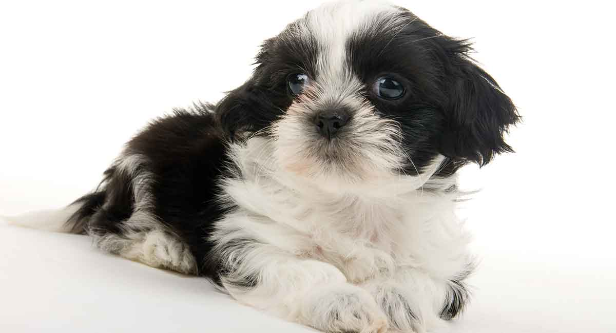 Teacup Shih Tzu The Miniature Form Of