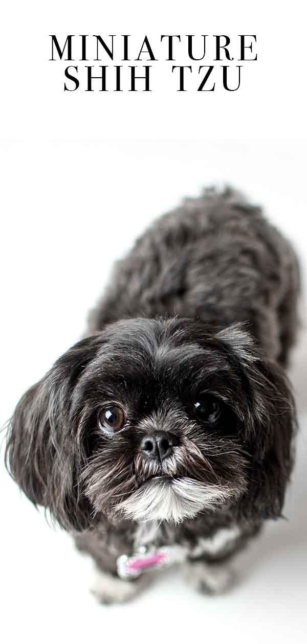 Teacup Shih Tzu The Miniature Form Of An Already Tiny Pup