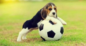 Pocket Beagle – Is This Mini Version Of The Popular Breed Right For You?