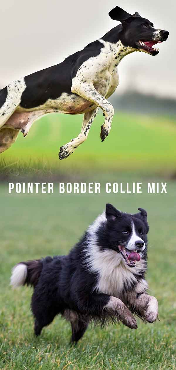 Pointer Border Collie Mix