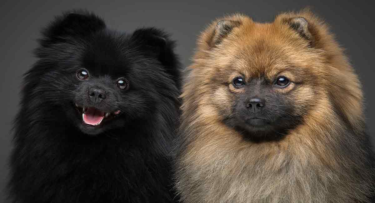 Pomeranian Colors We Show You The Wide Variety