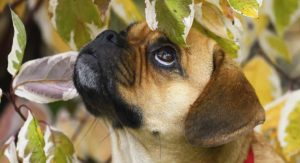 pug mixes - puggle