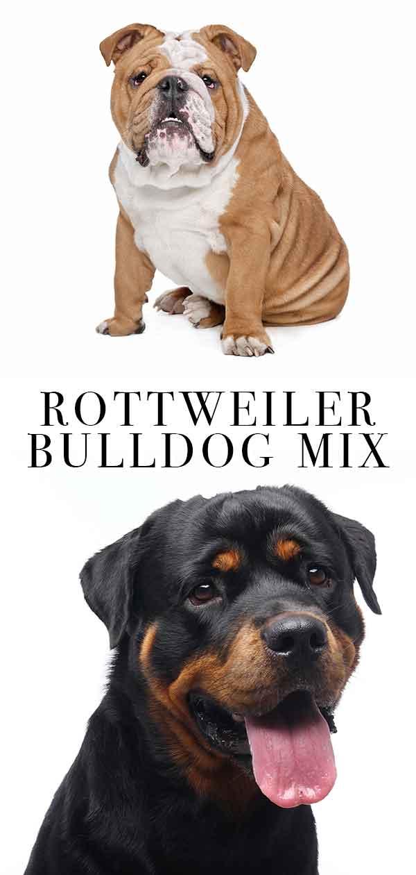 rottweiler bulldog mix