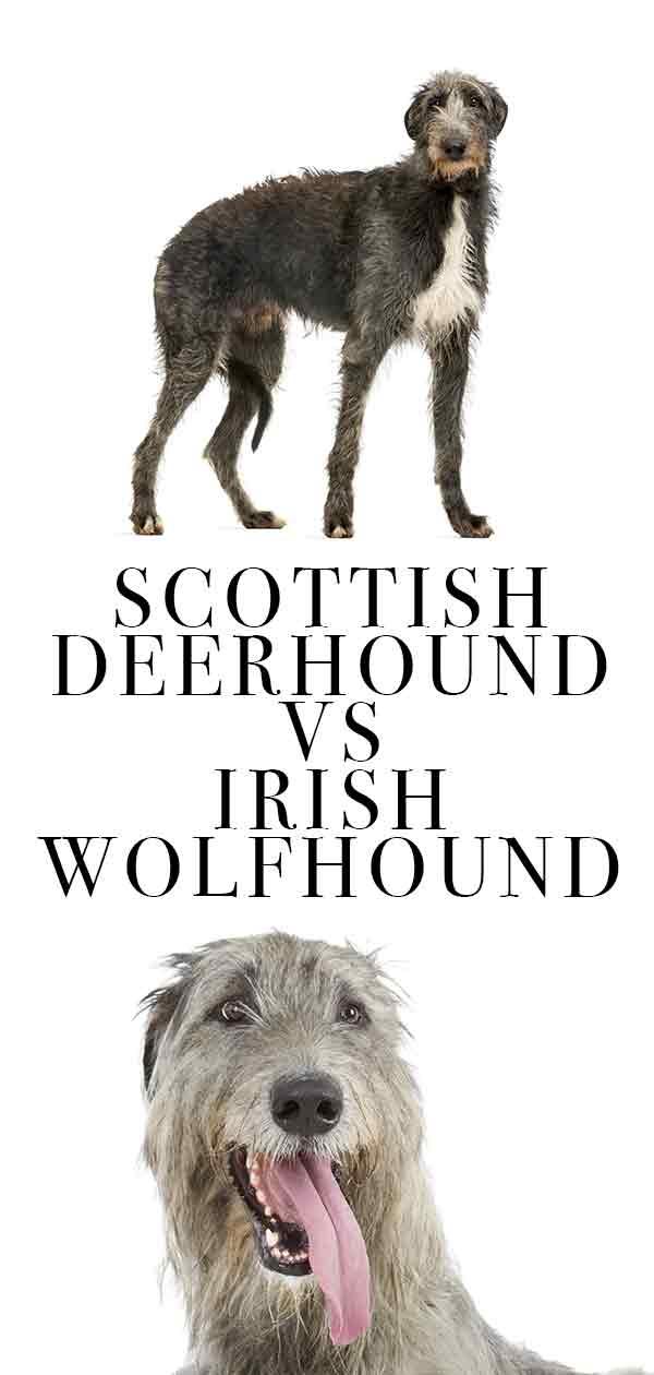 scottish deerhound vs irish wolfhound