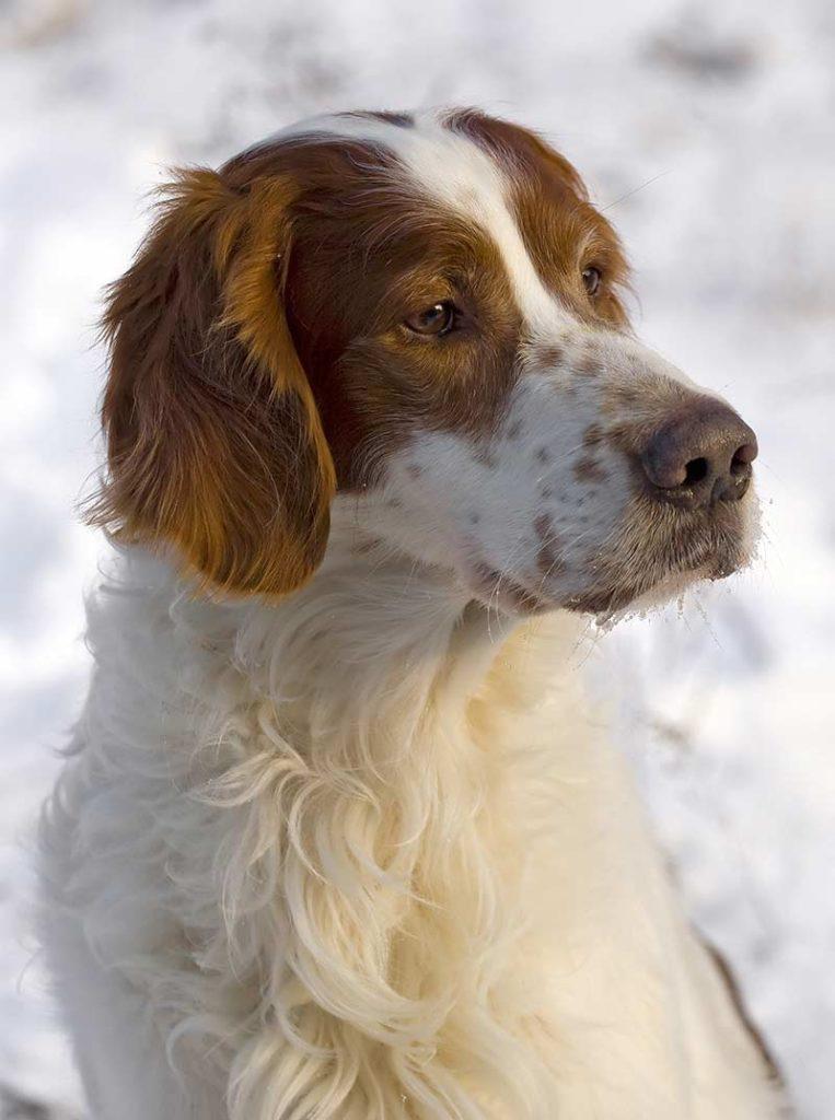 irish dog breeds - red and white setter