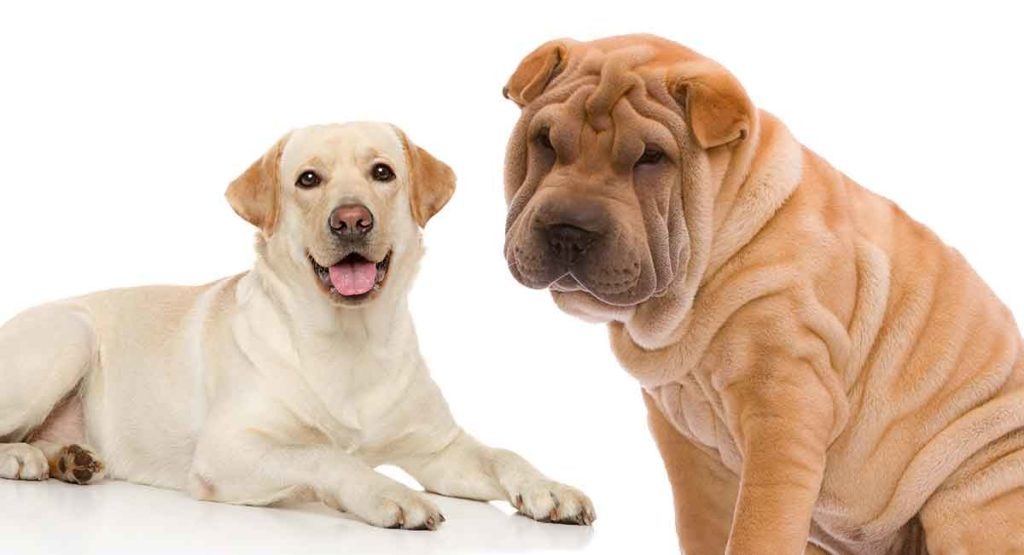 Shar Pei Lab Mix Is This Unusual Hybrid The Right One For
