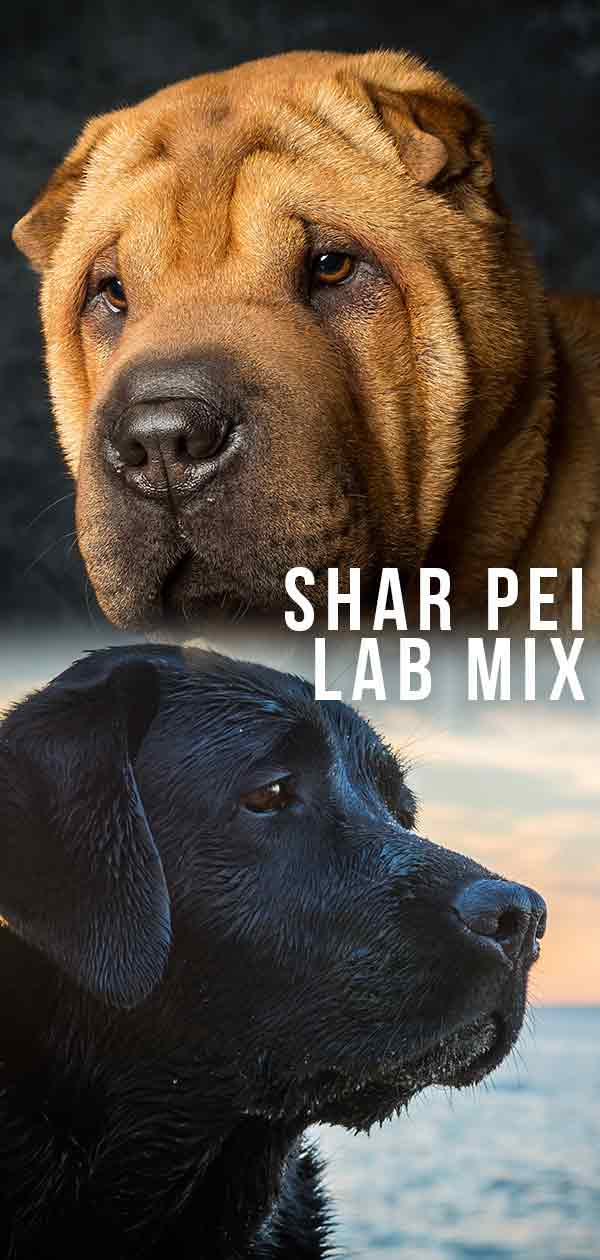 shar pei lab mix