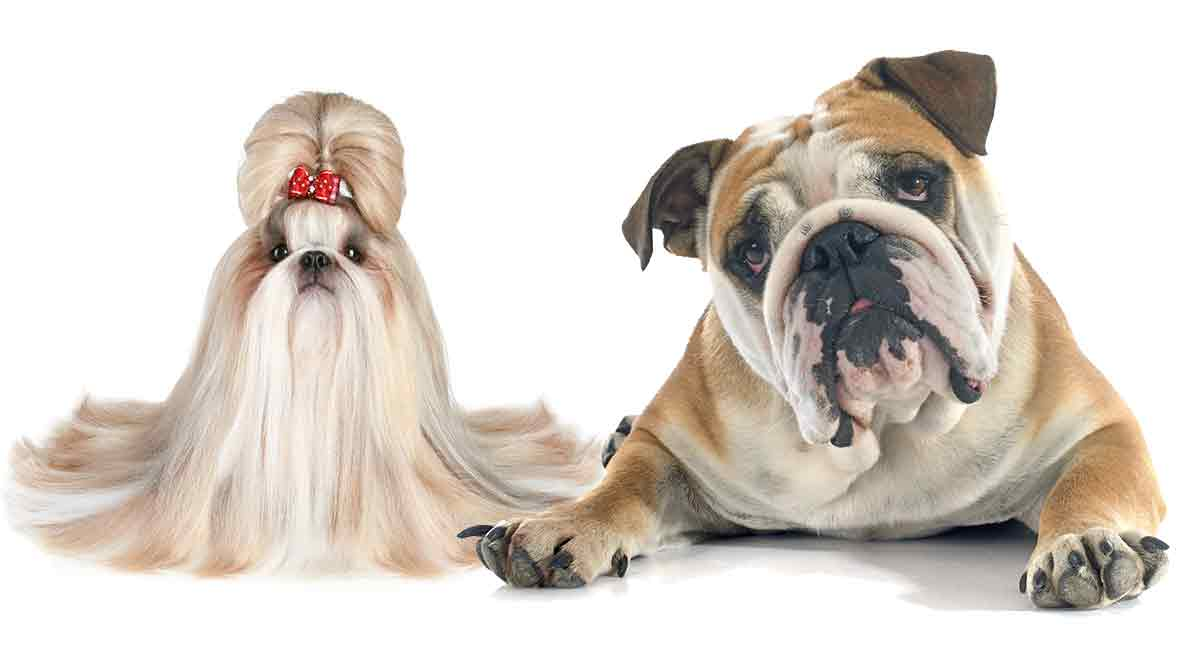 Shih Tzu Bulldog mix facts