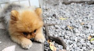 Teacup Pomeranian: Everything You Need to Know About a Truly Tiny Dog