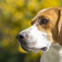 American Foxhound – A Loud Proud Hunting Dog