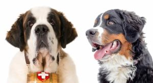Bernese Mountain Dog vs St. Bernard: Can You Tell Them Apart?
