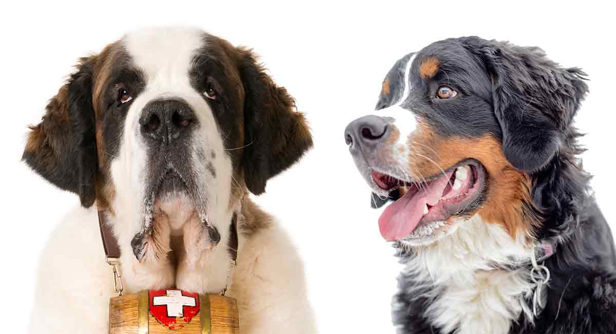Bernese Mountain Dog Vs St Bernard Whats The Difference