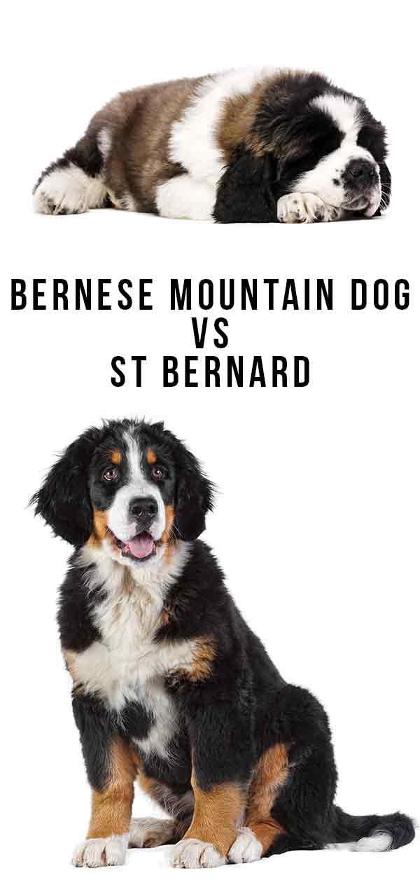 bernese mountain dog vs St. Bernard