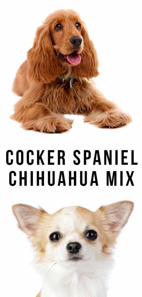 Cocker Spaniel Chihuahua Mix