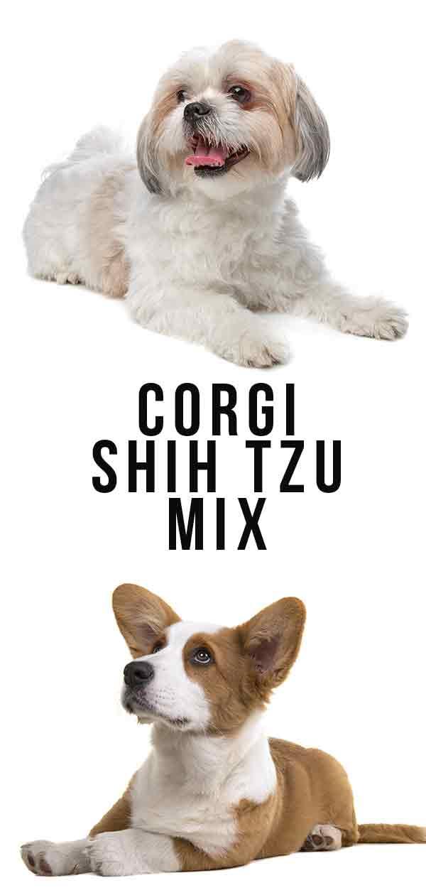 corgi shih tzu mix