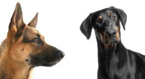 German Shepherd Doberman Mix – Great Guard Dog or Family Pet?