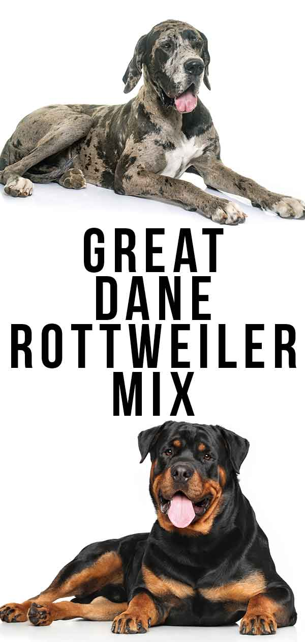 Great Dane Rottweiler Mix