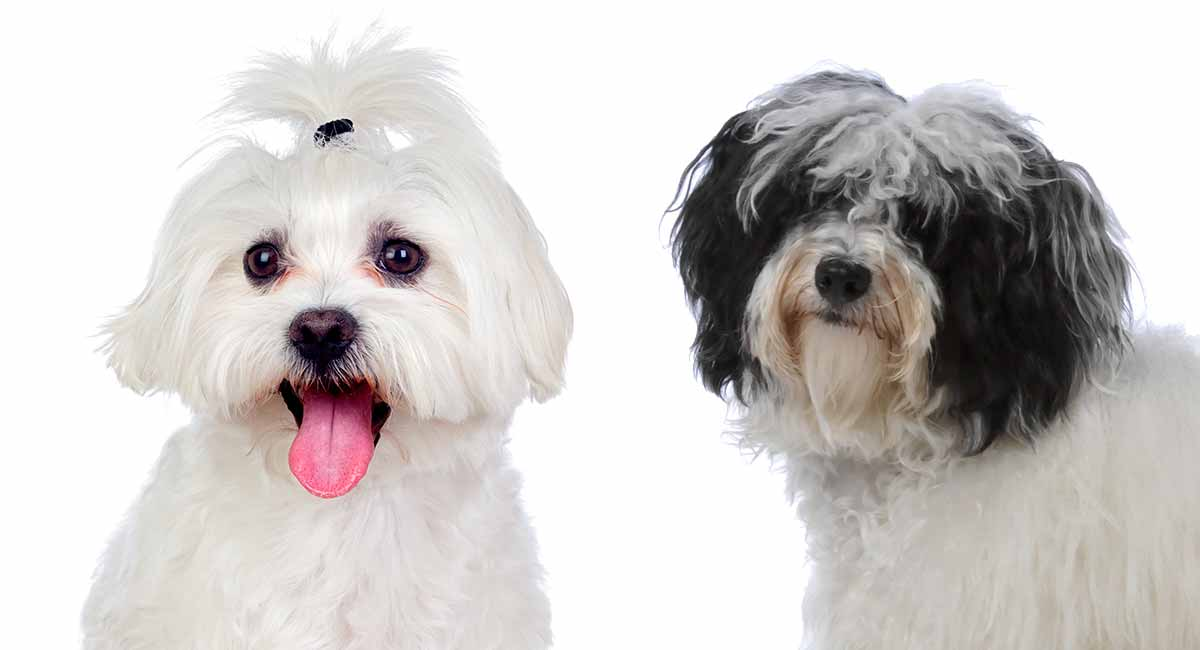 maltese havanese havanese vs maltese which long haired lap dog is best 8168