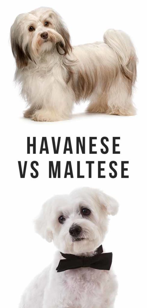 Havanese vs Maltese - Which Long Haired Lap Dog Is Best For You?
