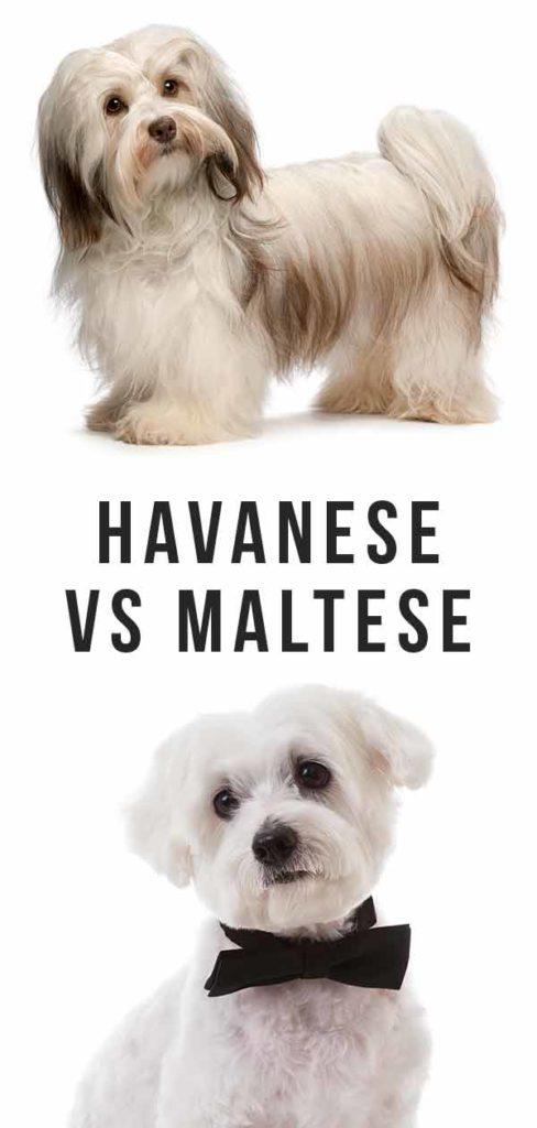Havanese vs Maltese