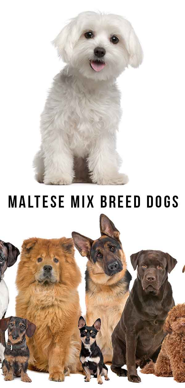 Maltese Mix breed dogs