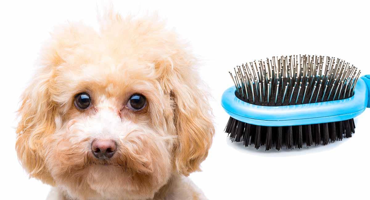 Maltipoo grooming