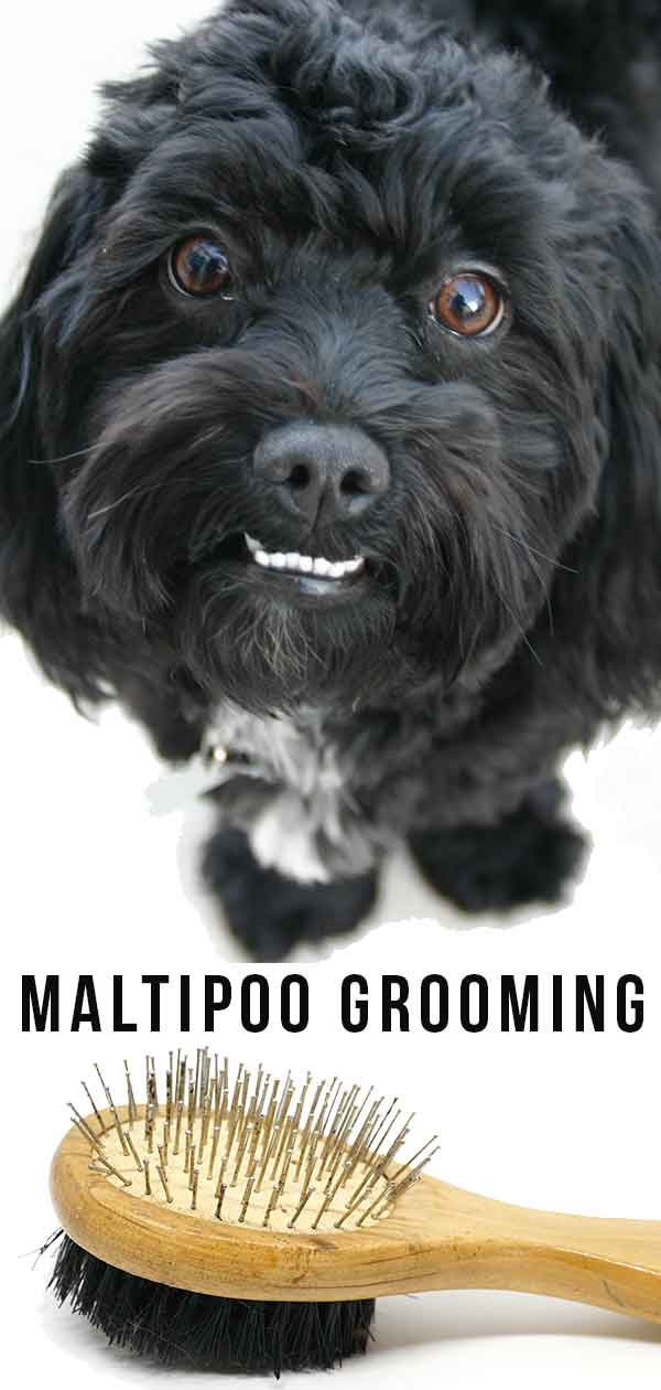 Maltipoo Grooming What You Need To Know To Look After Your Dog