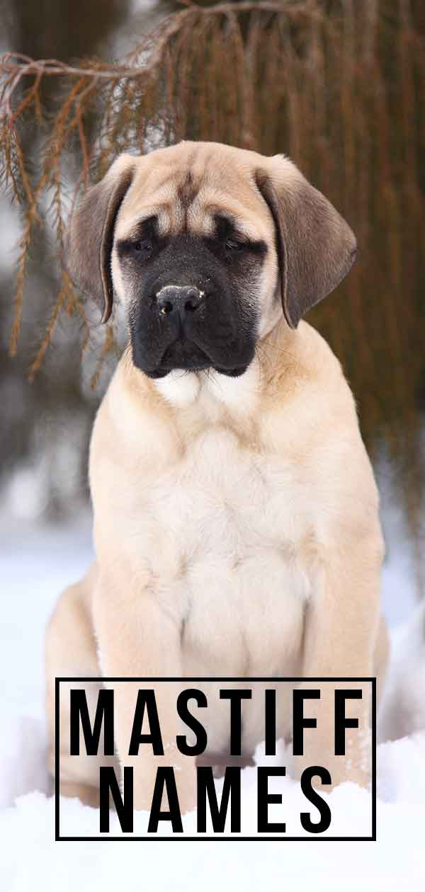 Mastiff Names – What Name Would Be Best For Your New Puppy?