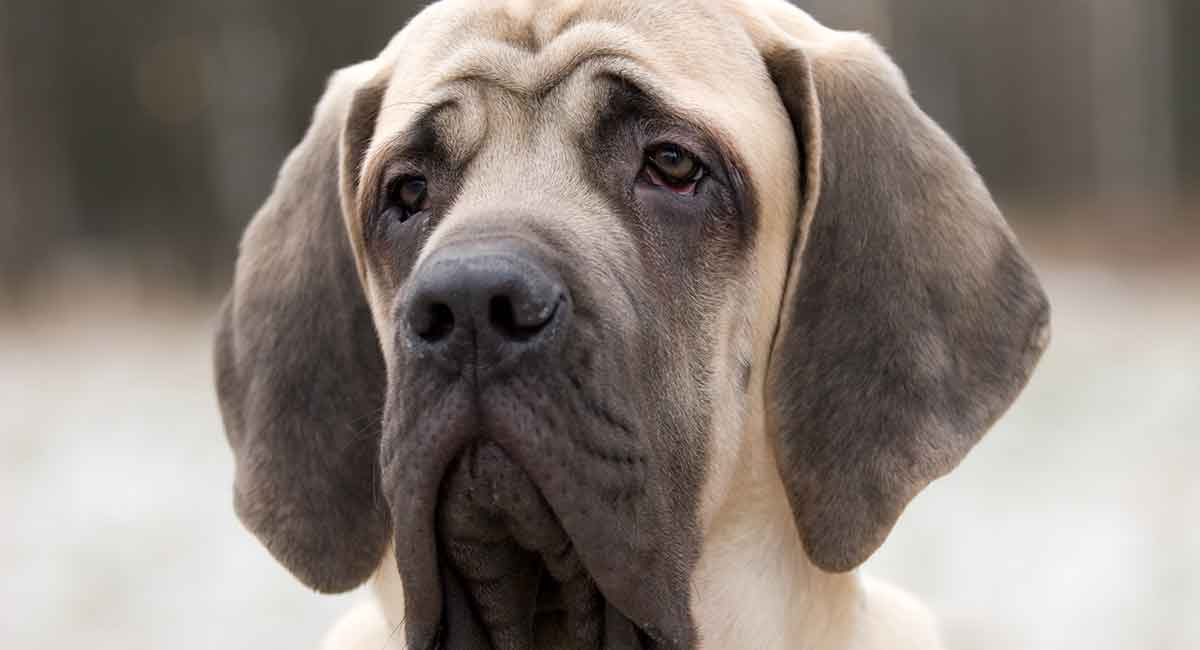 Mastiff Names - What Name Would Be Best For Your New Puppy?