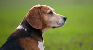 Old Beagle: What You Need To Know As Your Dog Ages