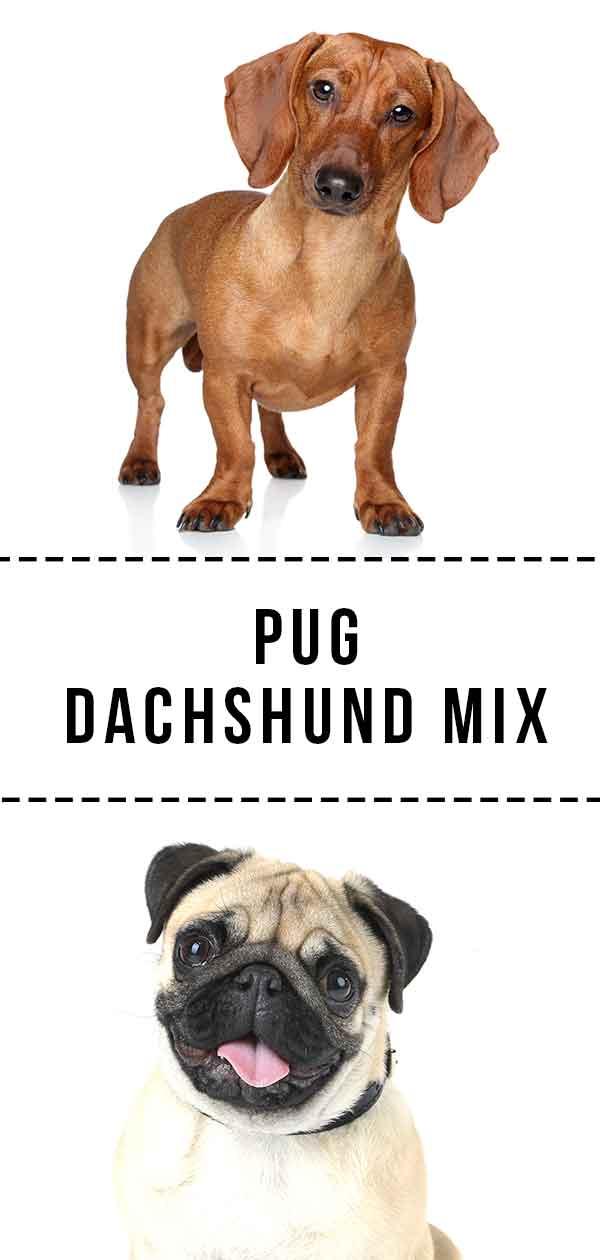 Pug Dachshund Mix