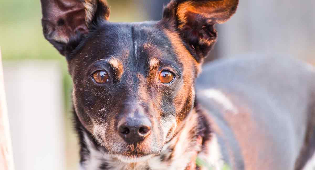 Rat Terrier Mixes