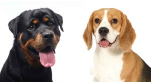 Rottweiler Beagle Mix: Would the Reagle Suit Your Home?