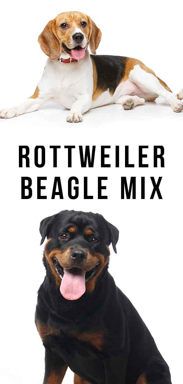 Rottweiler Beagle Mix