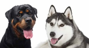 Rottweiler Husky Mix: Could the Rottsky Be Your New Pup?