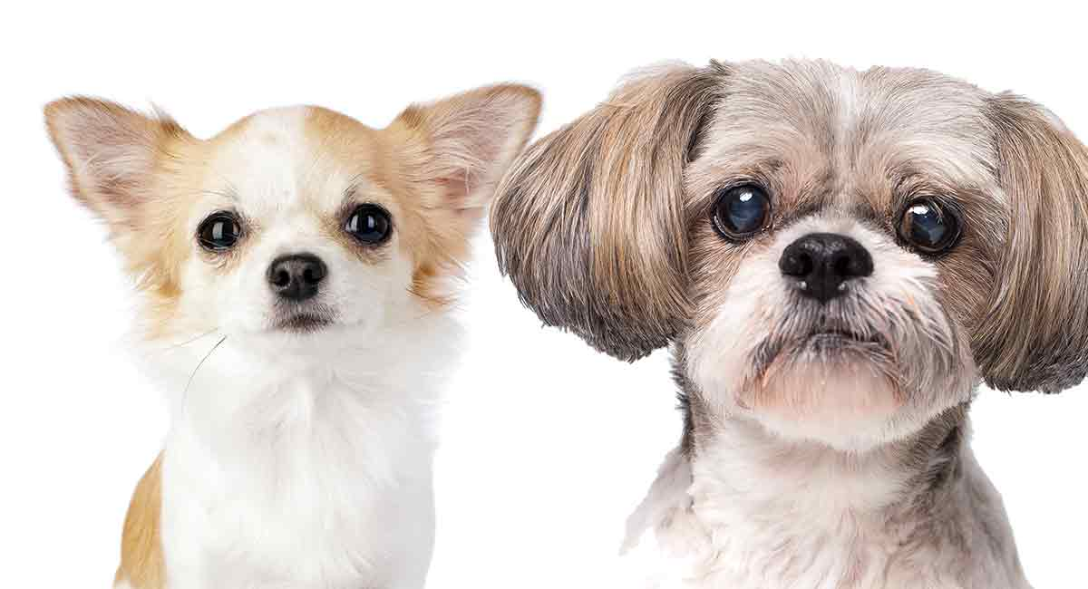 shitzu mix chihuahua shih tzu chihuahua mix is this the perfect cross for you 9899